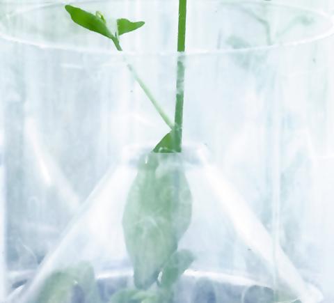 arabidopsis plant growing in arasystem base close up