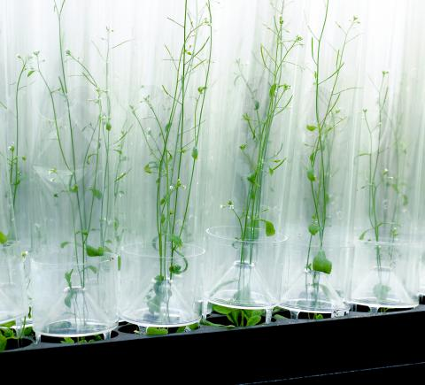 arabidopsis growing in arasystem tubes